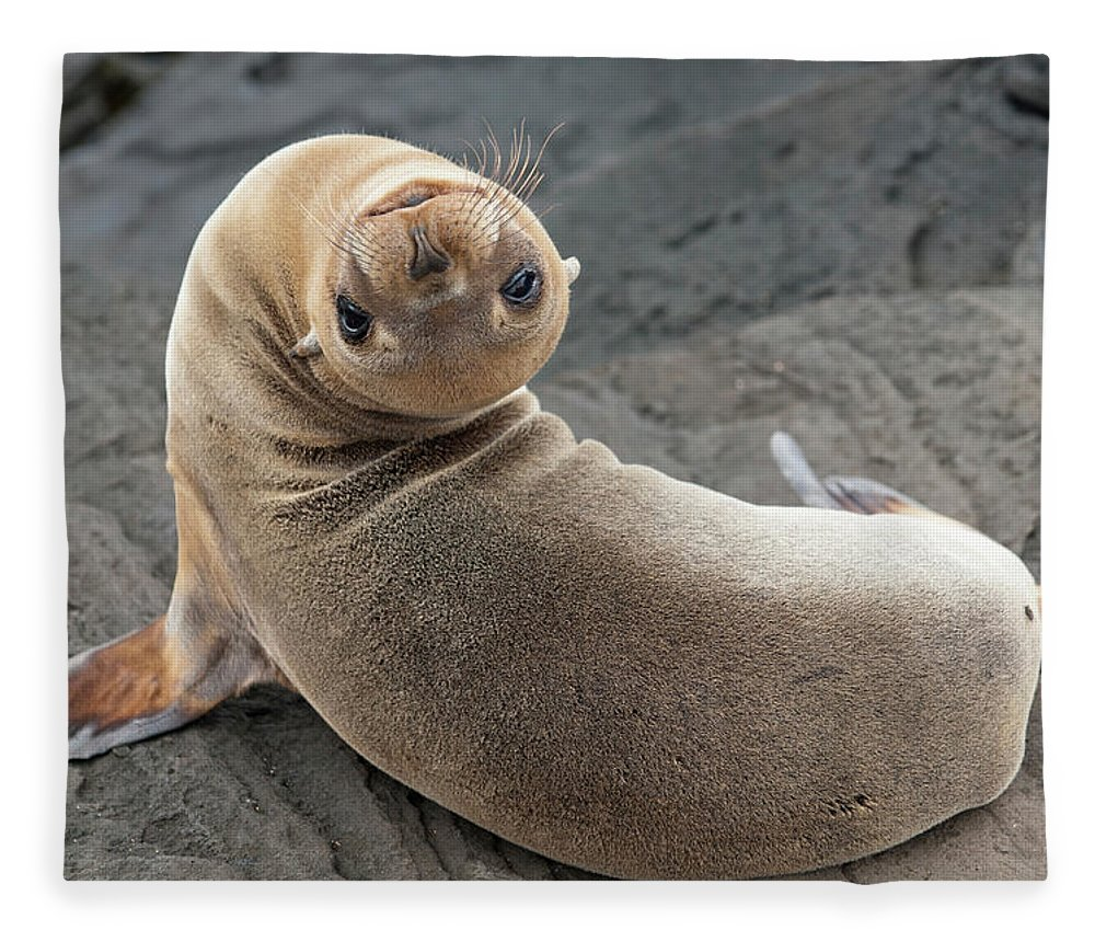 Looking Over Shoulder Fleece Blanket featuring the photograph Fur Seal Otariidae Looking Back Upside by Keith Levit / Design Pics