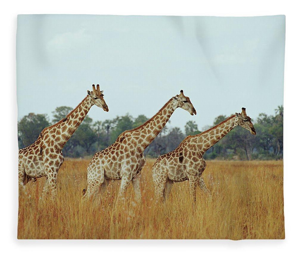 Horned Fleece Blanket featuring the photograph Giraffe Herd, Botswana by Tim Graham