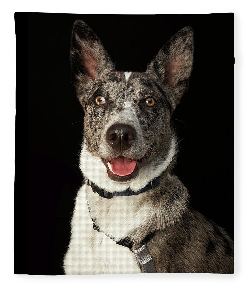 Pets Fleece Blanket featuring the photograph Grey And White Australian Shepherd With by M Photo