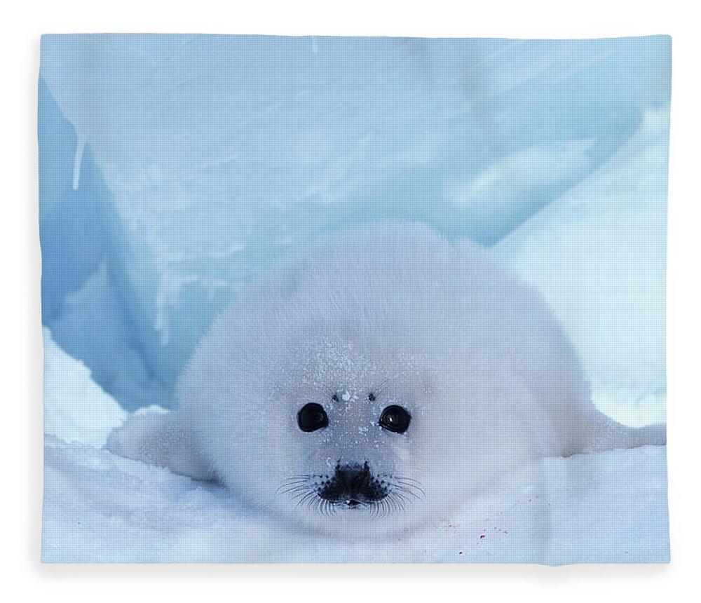 Iles De La Madeleine Fleece Blanket featuring the photograph Harp Seal Phoca Groenlandica by Art Wolfe