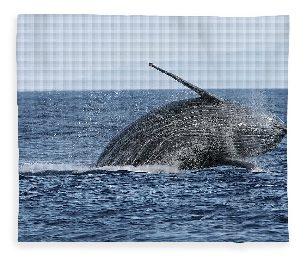 Animal Fleece Blanket featuring the photograph Humpback Whale Breach 2 Of 3 by Adwalsh