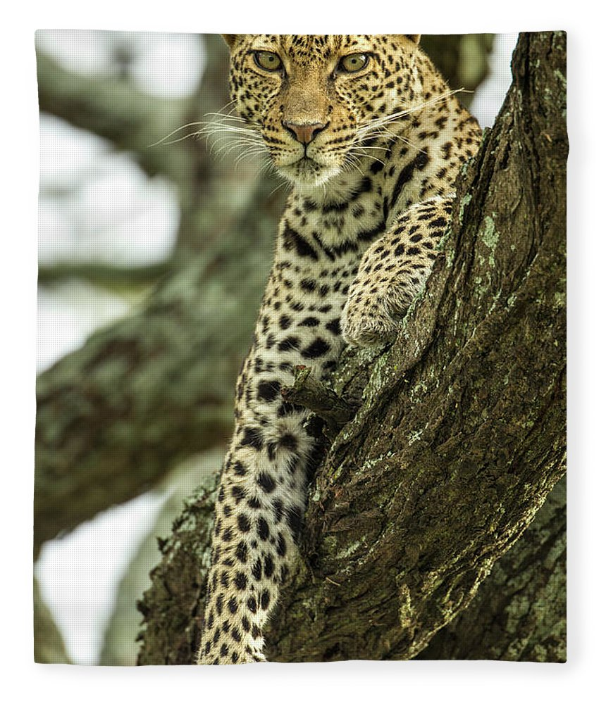 Dawn Fleece Blanket featuring the photograph Leopard, Ndutu Plains, Tanzania by Paul Souders
