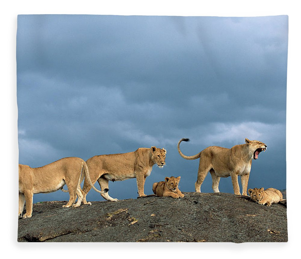 Kenya Fleece Blanket featuring the photograph Lionesses And Cubs Panthera Leo On by James Warwick