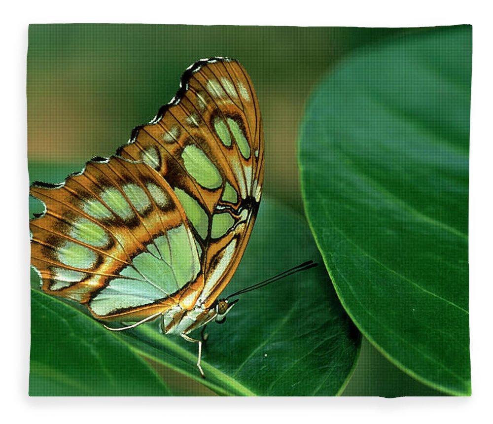 Nymphalidae Fleece Blanket featuring the photograph Malachite Butterfly, Siproeta Stelenes by Adam Jones