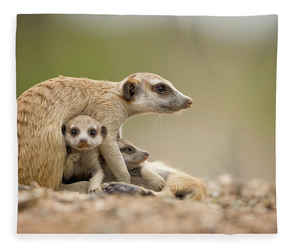 Care Fleece Blanket featuring the photograph Meerkat Pups With Adult, Namibia by Paul Souders