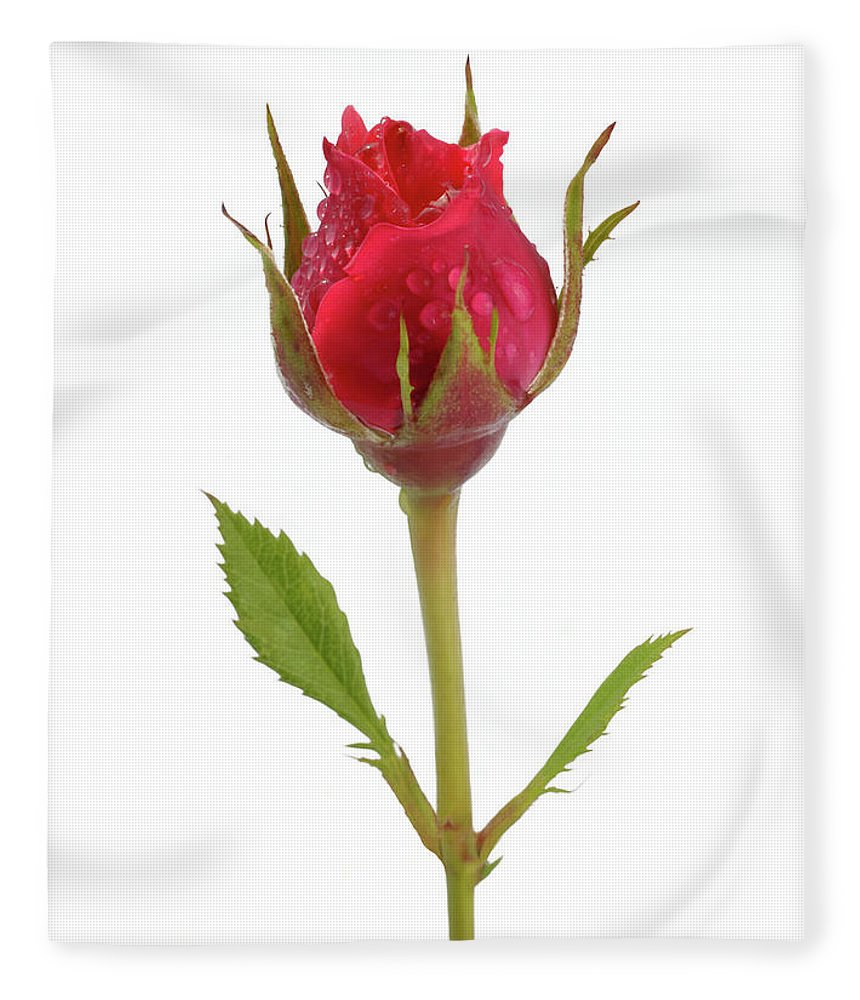 White Background Fleece Blanket featuring the photograph Miniature Pink Rose Bud With Water by Rosemary Calvert