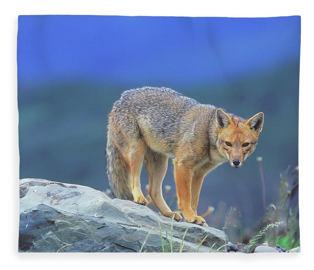 Animal Themes Fleece Blanket featuring the photograph Patagonian Red Fox Dusicyon Culpaeus by Marco Simoni