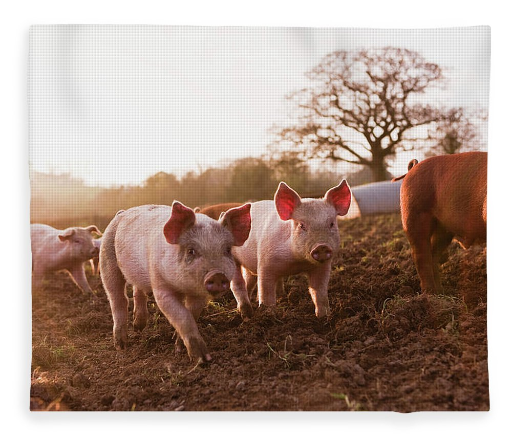 Pig Fleece Blanket featuring the photograph Piglets In Barnyard by Jupiterimages