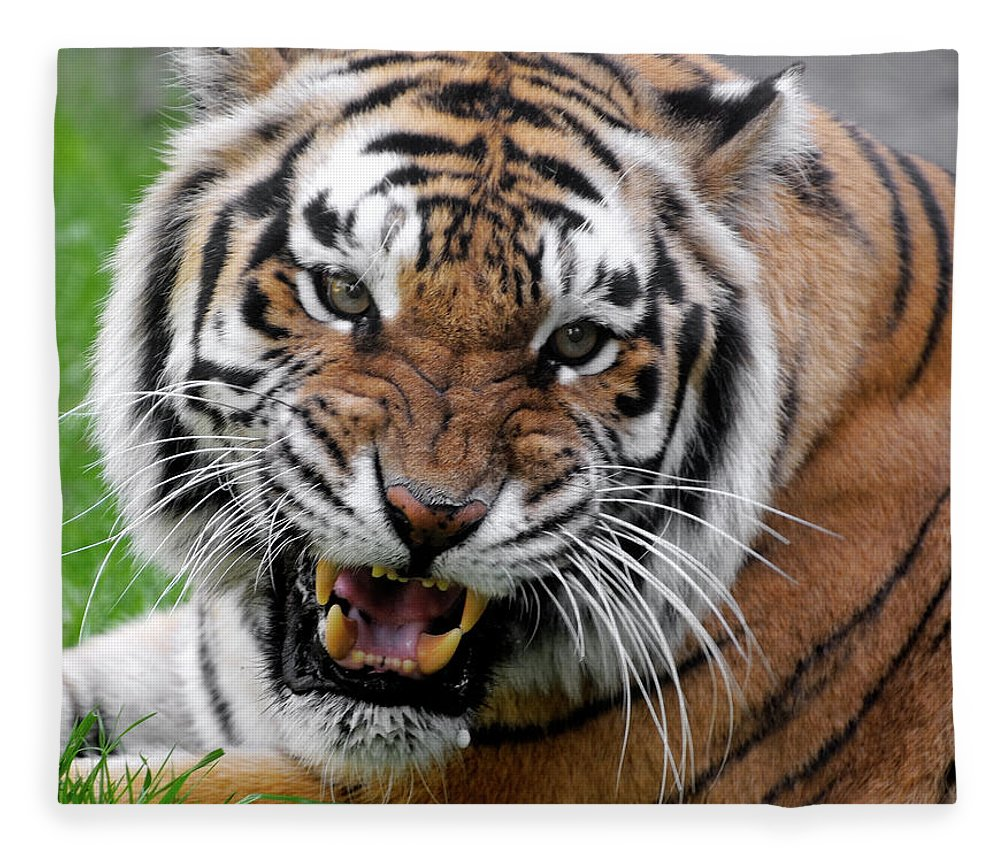 Paw Fleece Blanket featuring the photograph Portrait Of An Aggressive Bengal Tiger by Empphotography