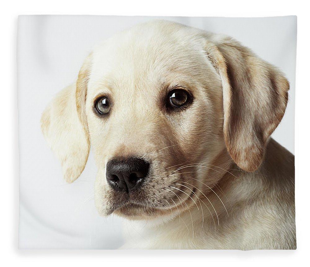 White Background Fleece Blanket featuring the photograph Portrait Of Blond Labrador Retriever by Uwe Krejci
