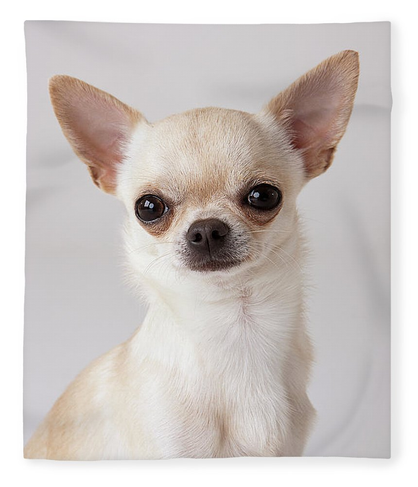 Pets Fleece Blanket featuring the photograph Portrait Of Chihuahua by Compassionate Eye Foundation/david Leahy