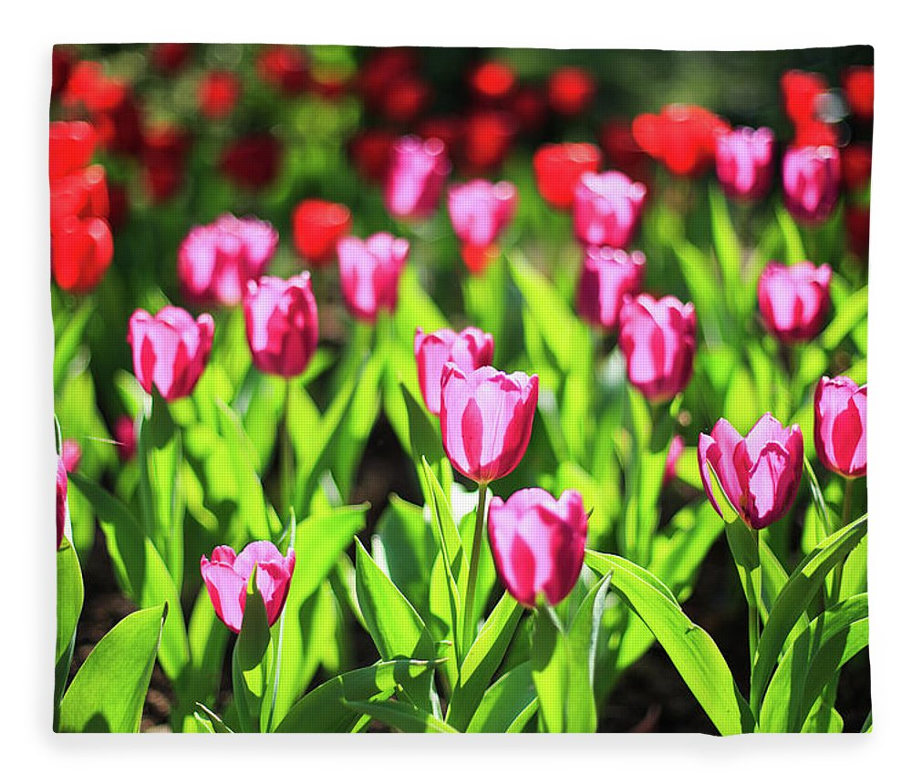 Taiwan Fleece Blanket featuring the photograph Purple And Red Tulips Under Sun Light by Samyaoo