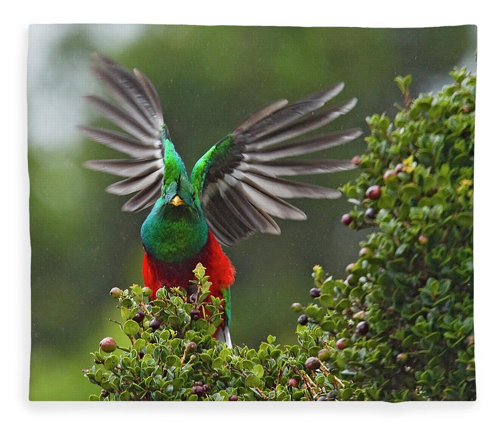 Animal Themes Fleece Blanket featuring the photograph Quetzal Taking Flight by Photograph Taken By Nicholas James Mccollum