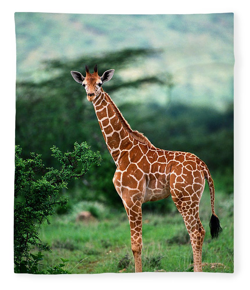 Giraffe Calf Fleece Blanket featuring the photograph Reticulated Giraffe, Serengeti Nat by Art Wolfe