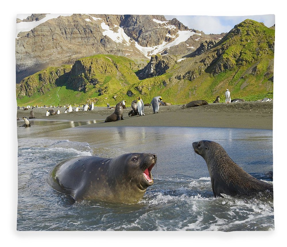 South Georgia Island Fleece Blanket featuring the photograph Southern Elephant Seal Pup Barking At by Eastcott Momatiuk