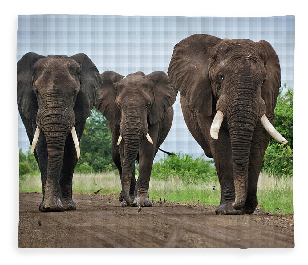 Toughness Fleece Blanket featuring the photograph Three Big Elephants On A Dirt Road by Johansjolander