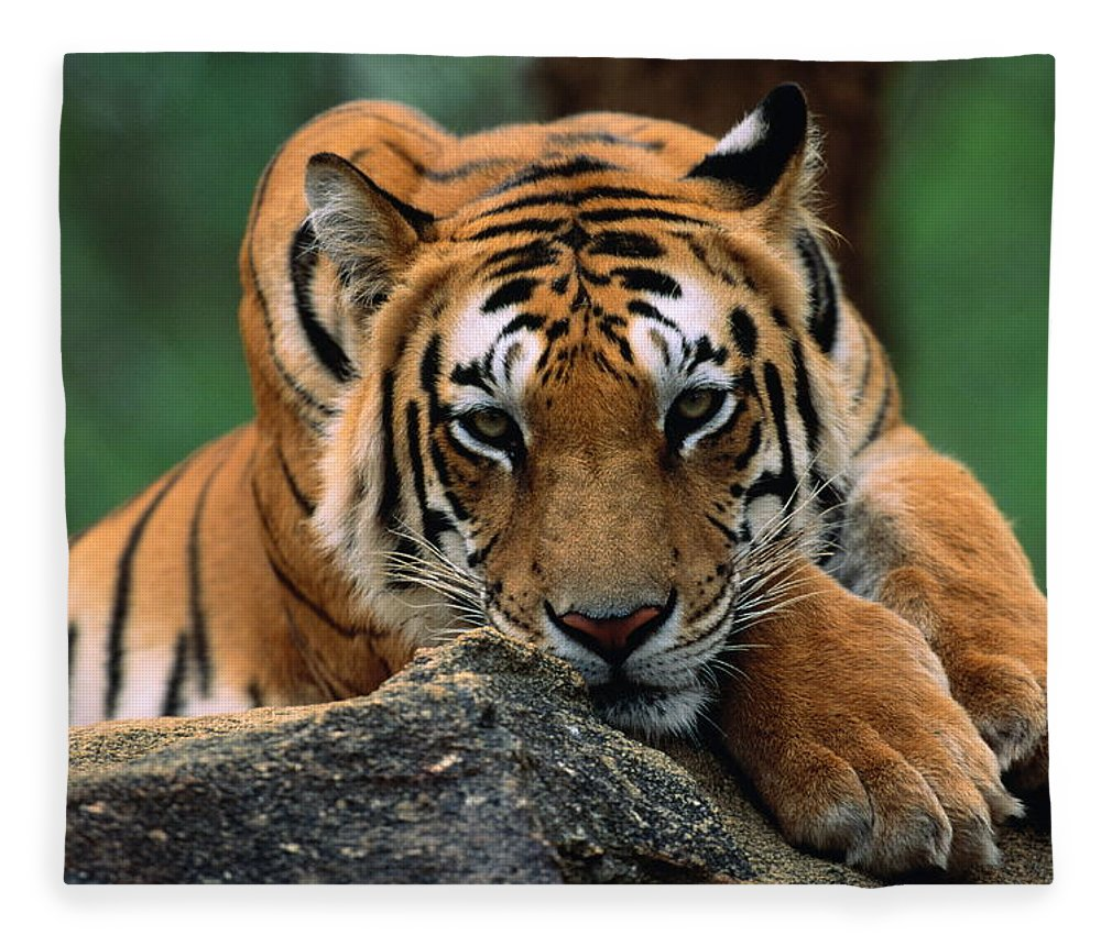 Focus Fleece Blanket featuring the photograph Tiger Resting On Rocky Outcrop, Close-up by Manoj Shah