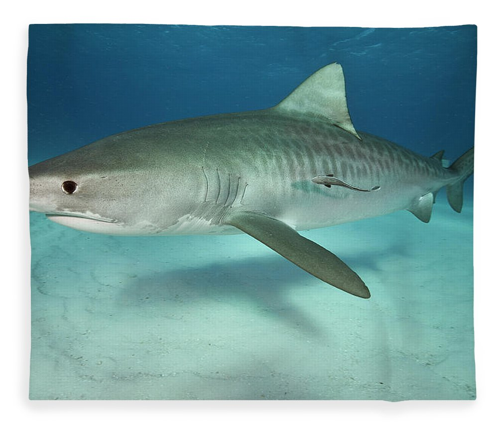 Underwater Fleece Blanket featuring the photograph Tiger Shark On White Sand Beach by Alastair Pollock Photography
