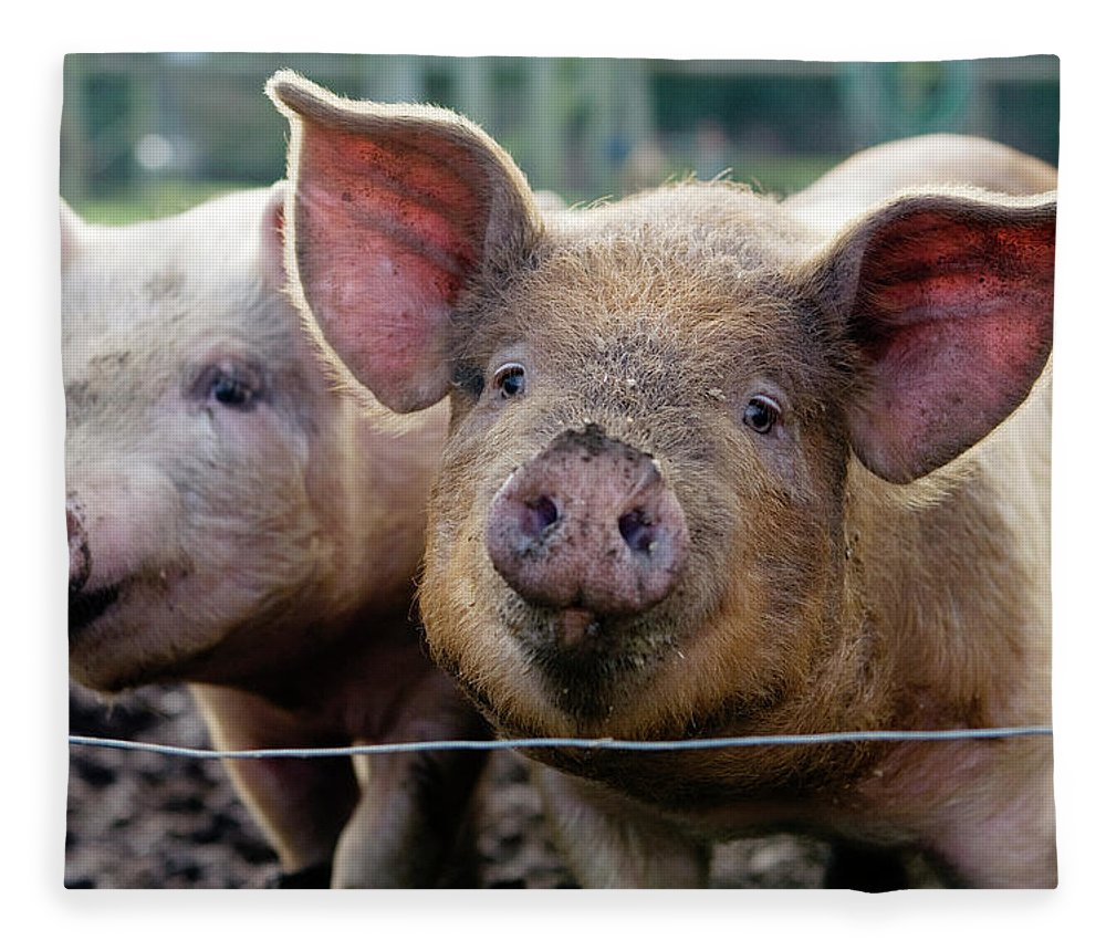 Pig Fleece Blanket featuring the photograph Two Pigs On Farm by Charity Burggraaf