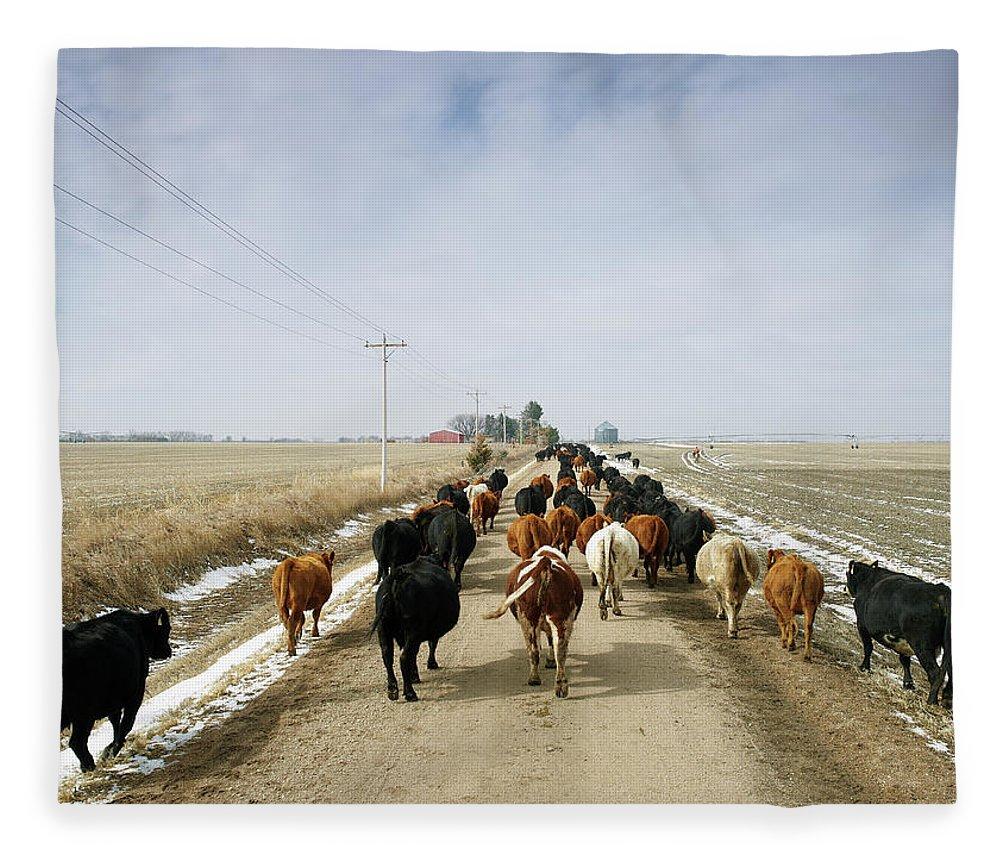 Cattle Drive Fleece Blanket featuring the photograph Usa, Nebraska, Great Plains, Herd Of by John Kelly