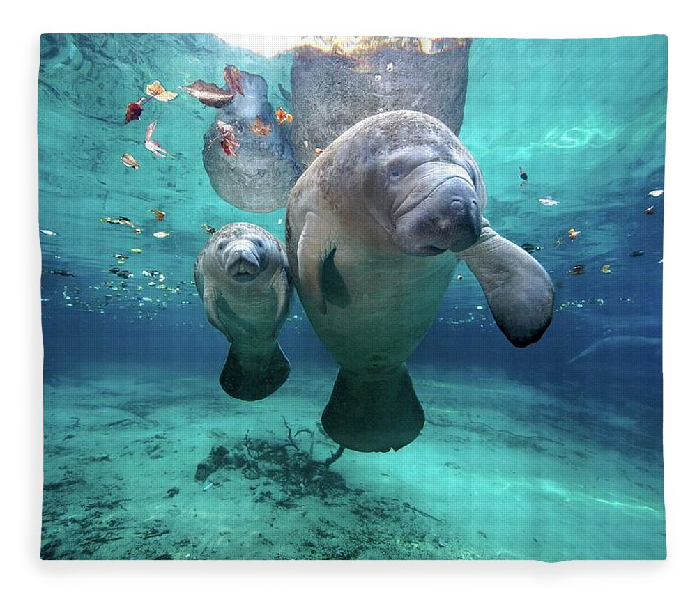 Underwater Fleece Blanket featuring the photograph West Indian Manatees by James R.d. Scott
