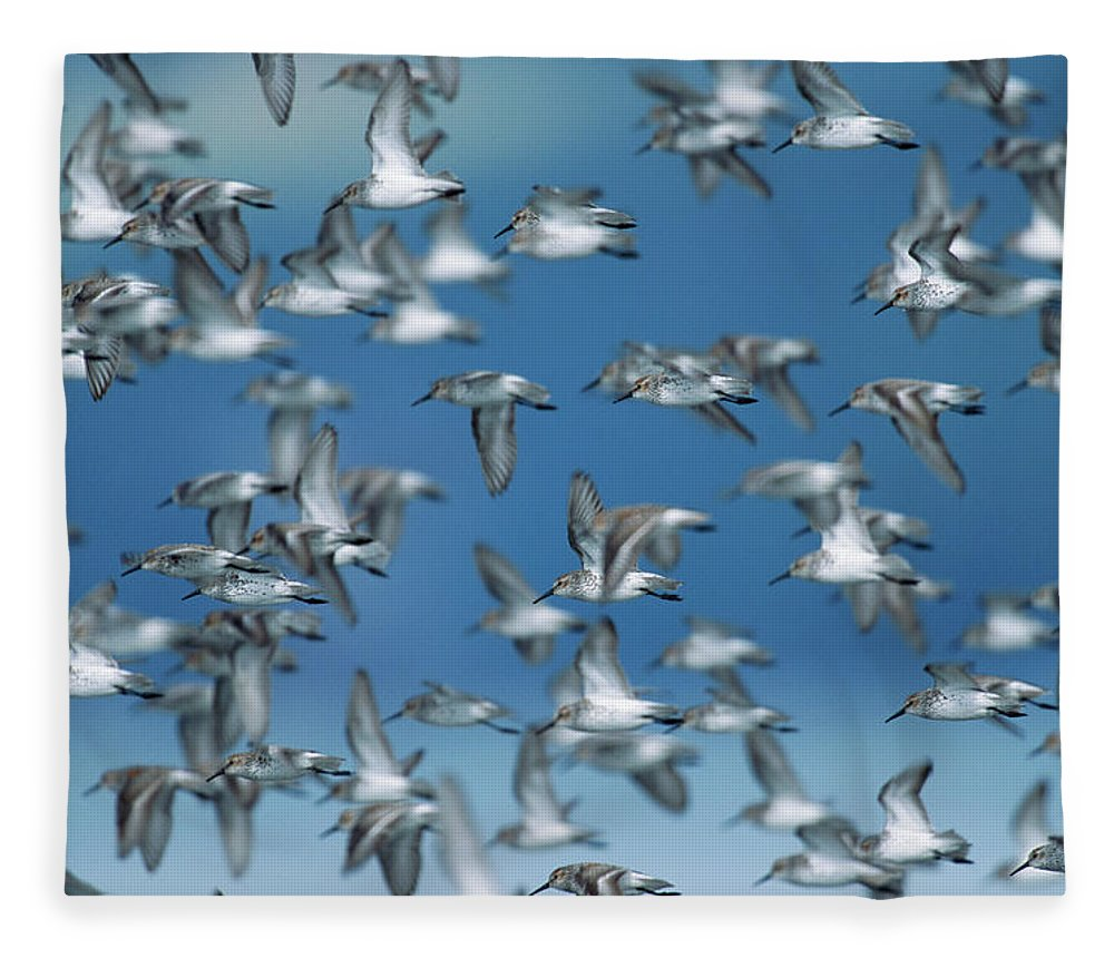 Animal Themes Fleece Blanket featuring the photograph Western Sandpipers Calidris Mauri by Eastcott Momatiuk