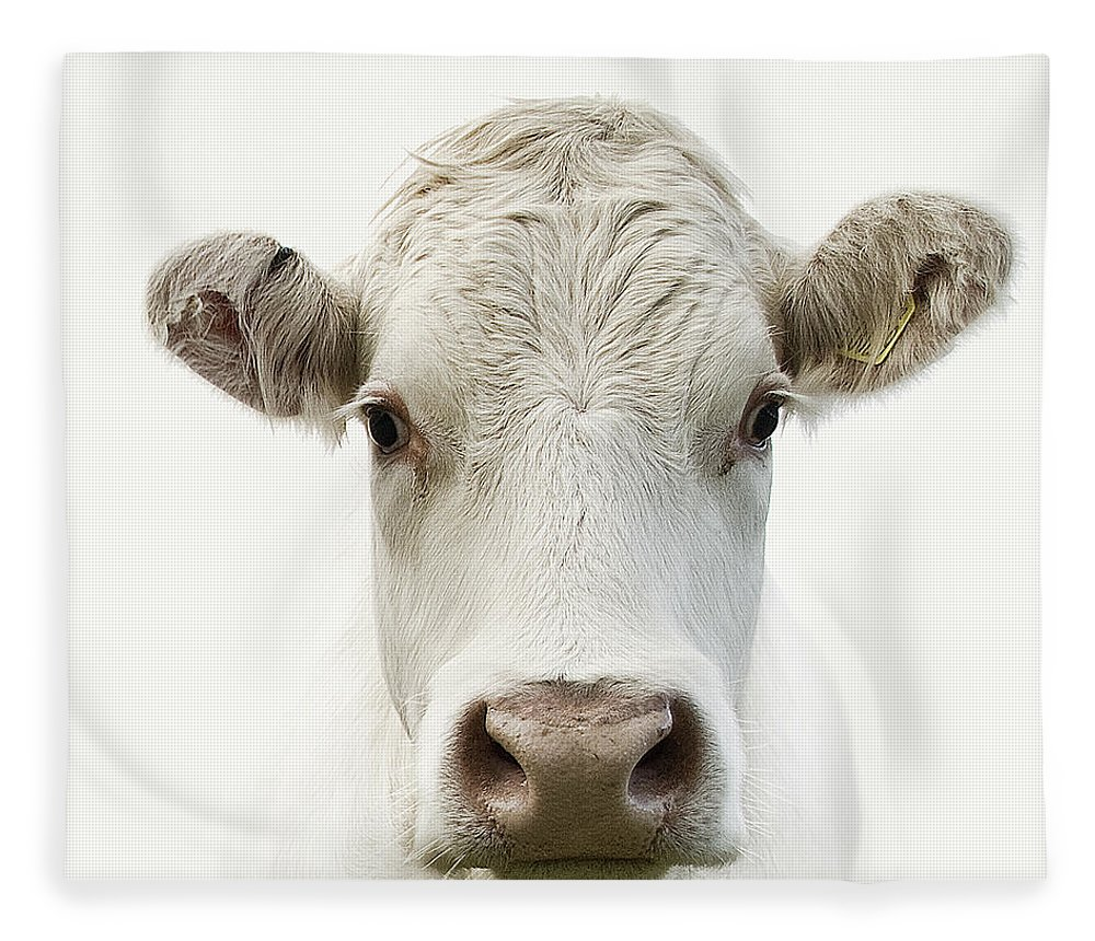 White Background Fleece Blanket featuring the photograph White Cow by Jojo1 Photography