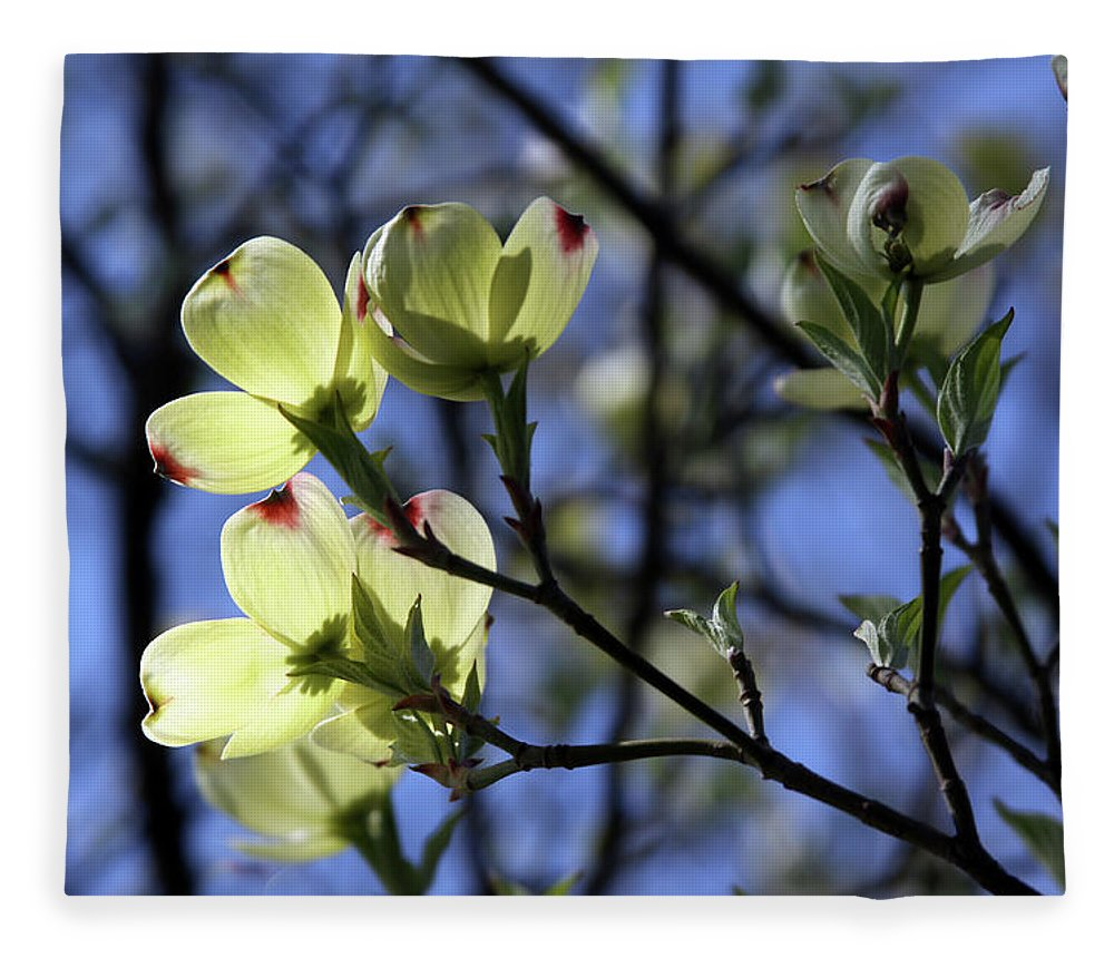 Dogwood Tree Fleece Blanket featuring the photograph Dogwood in Sunlight by John Lautermilch