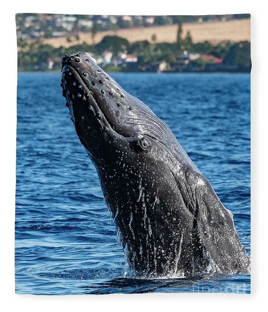 00595515 Fleece Blanket featuring the photograph Juvenlie Humpback Breaching by Flip Nicklin