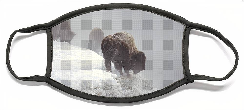 Feb0514 Face Mask featuring the photograph Bison Along Snowy Riverbank Yellowstone by Konrad Wothe