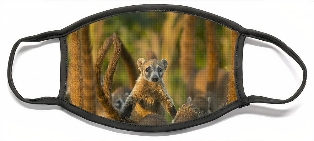 Kevin Schafer Face Mask featuring the photograph Cozumel Island Coati Cozumel Island by Kevin Schafer