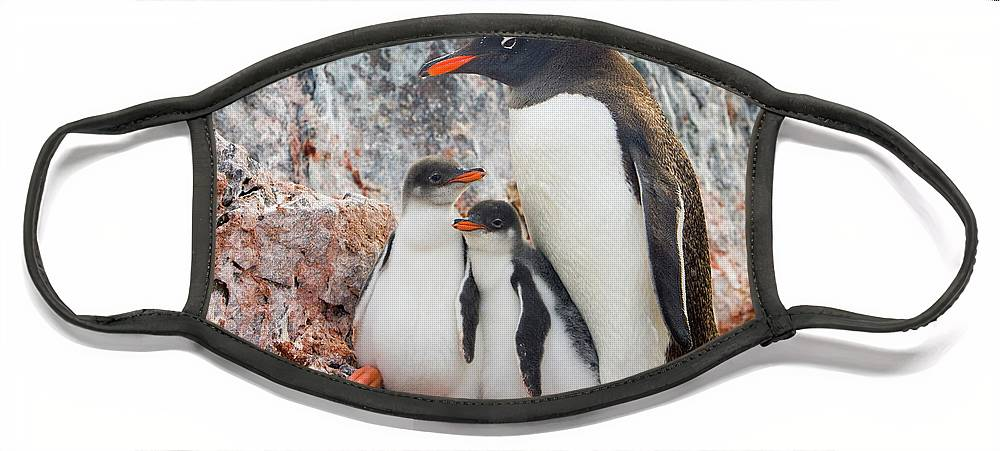 00345581 Face Mask featuring the photograph Gentoo Penguin Family on Booth Isl by Yva Momatiuk and John Eastcott