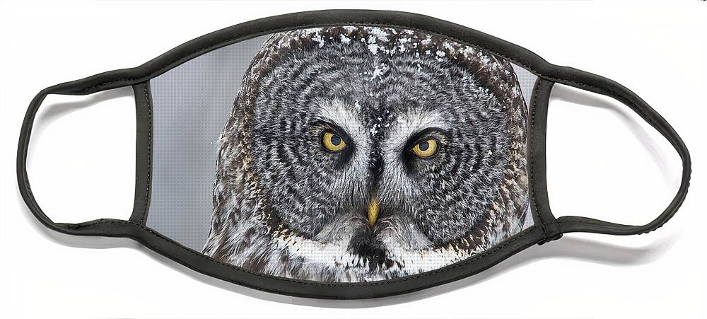 Nis Face Mask featuring the photograph Great Gray Owl Scowl Minnesota by Benjamin Olson