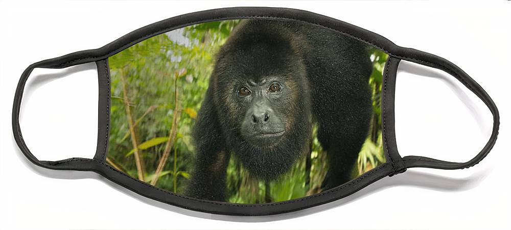 Kevin Schafer Face Mask featuring the photograph Mexican Black Howler Monkey Belize by Kevin Schafer