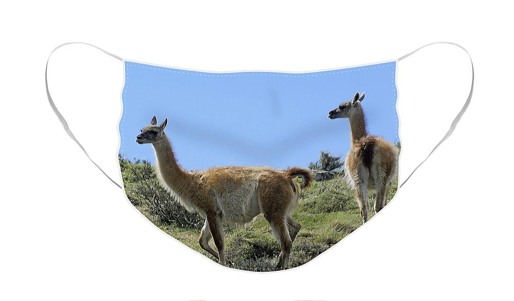 Chile Face Mask featuring the photograph Patagonian Guanacos by Michele Burgess