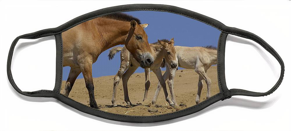 Feb0514 Face Mask featuring the photograph Przewalskis Horse With Two Foals by San Diego Zoo