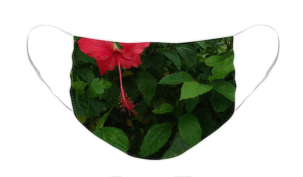 Hibiscus Face Mask featuring the photograph Red Hibiscus in Full Bloom by Peter Piatt