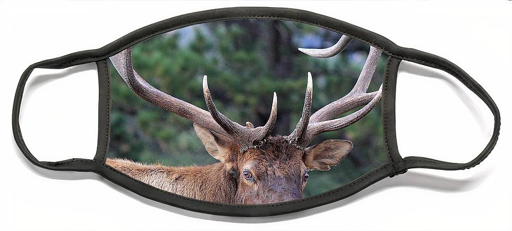 Elk Face Mask featuring the photograph Stare Down by Shane Bechler