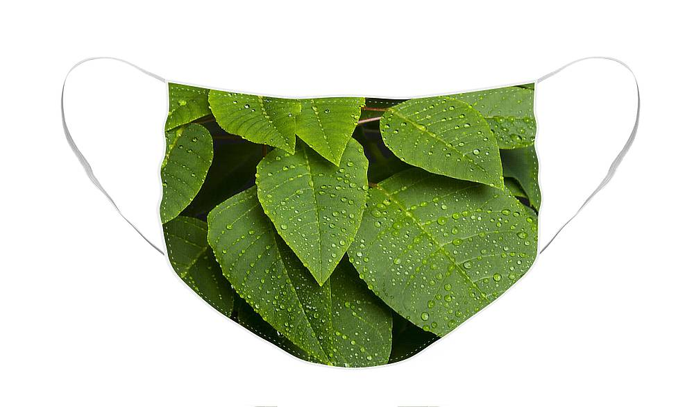 Leaf Face Mask featuring the photograph Green Leaves and Water Drops by James BO Insogna