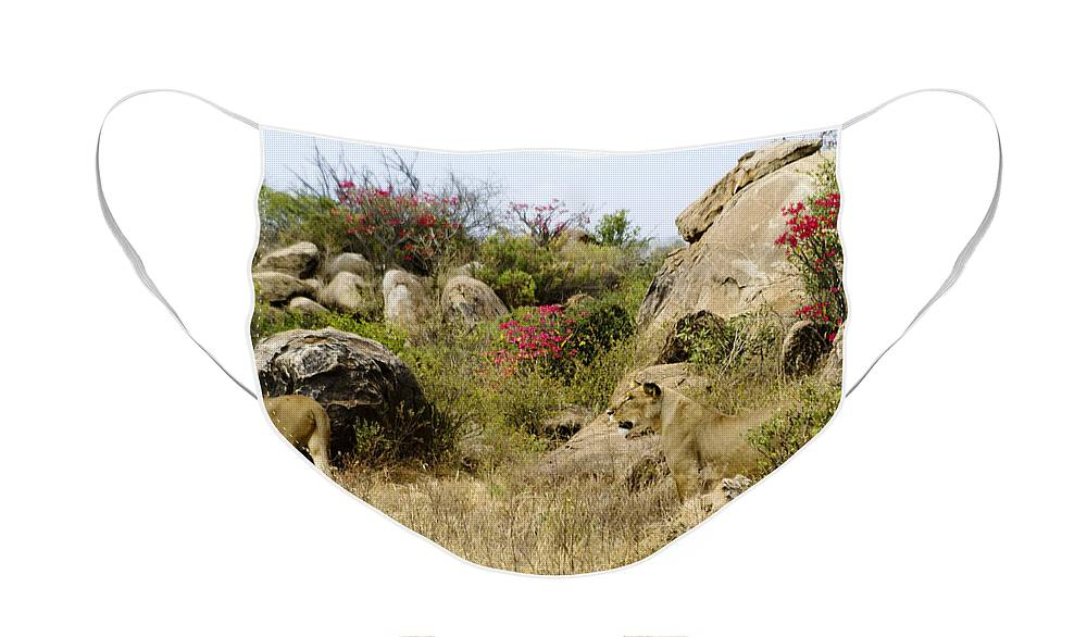 Lion Face Mask featuring the photograph Hunting Lionesses by Michele Burgess