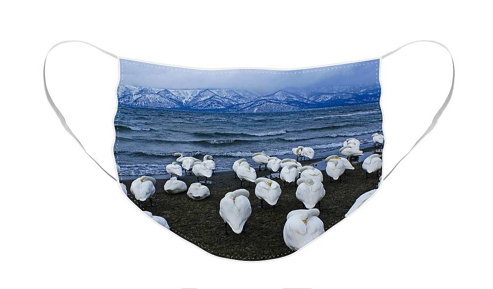 Japan Face Mask featuring the photograph Whooper Swans in Winter by Michele Burgess