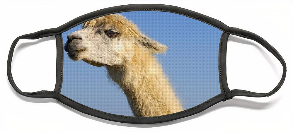 Skip Hunt Face Mask featuring the photograph Alpaca by Skip Hunt