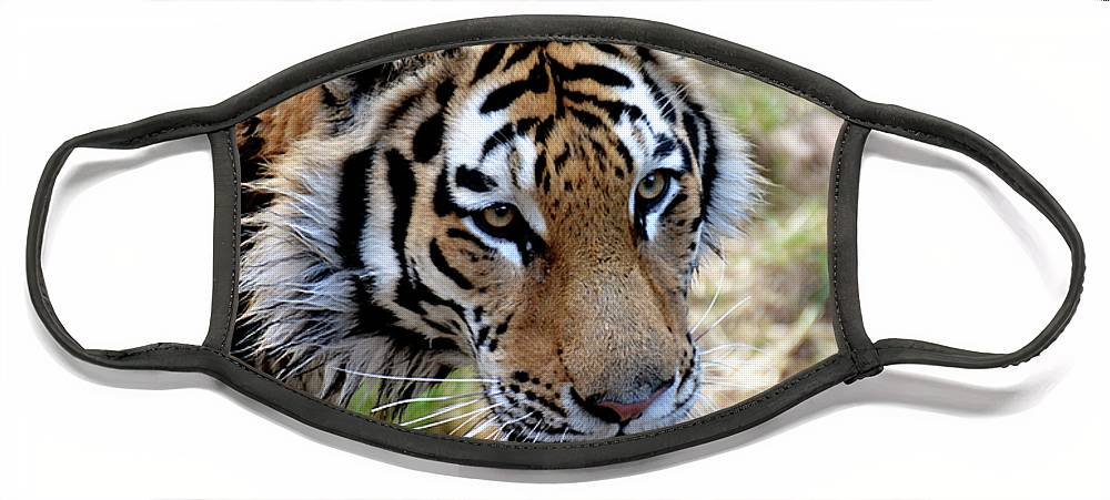 Tiger Face Mask featuring the photograph Feline Focus by Angelina Tamez