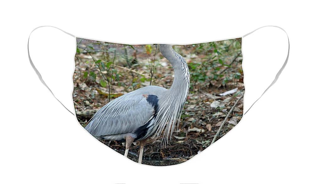 Great Blue Heron Face Mask featuring the photograph Great Blue Heron 1-1-11 by Suzanne Gaff