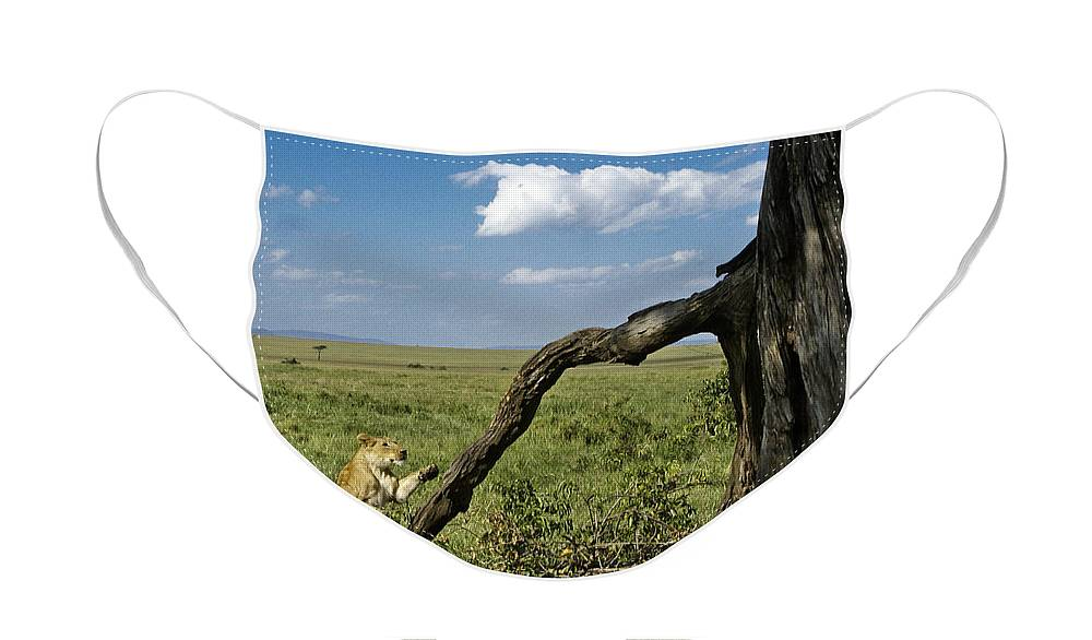 Africa Face Mask featuring the photograph Leaping Lion by Michele Burgess