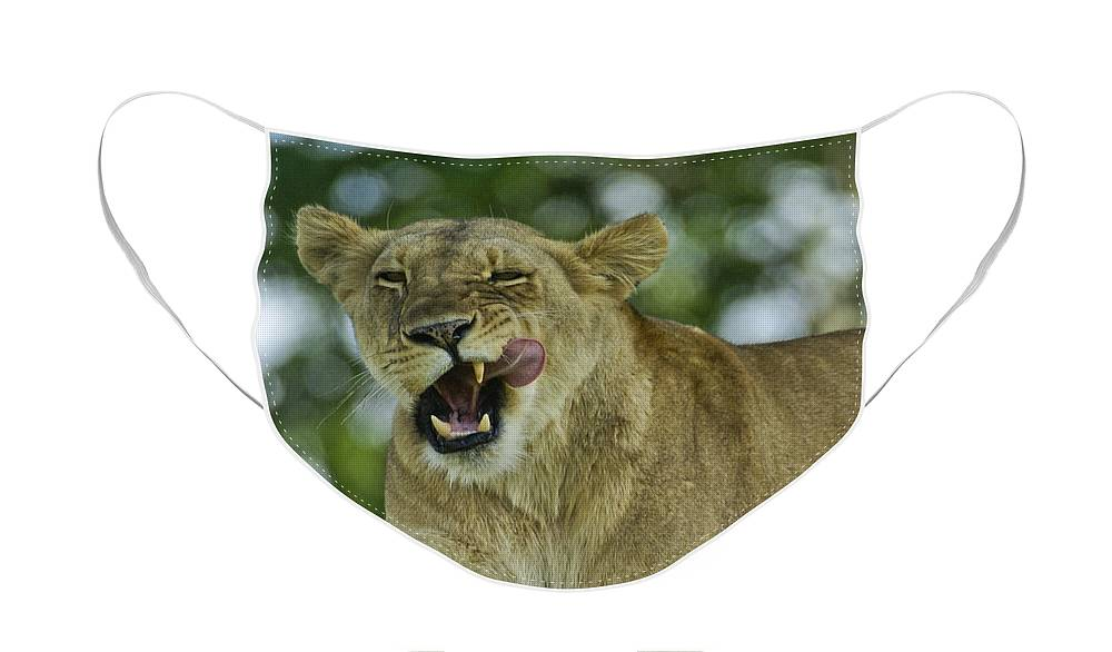 Africa Face Mask featuring the photograph Licking Lion by Michele Burgess