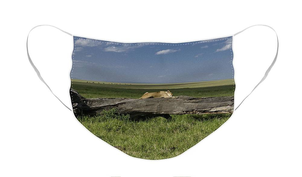Africa Face Mask featuring the photograph Lion on a Log by Michele Burgess