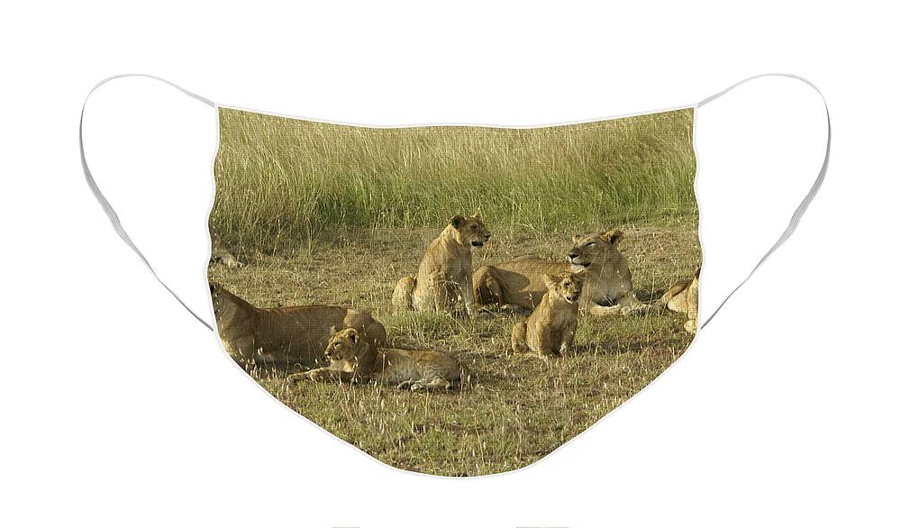 Africa Face Mask featuring the photograph Lotsa Lions by Michele Burgess