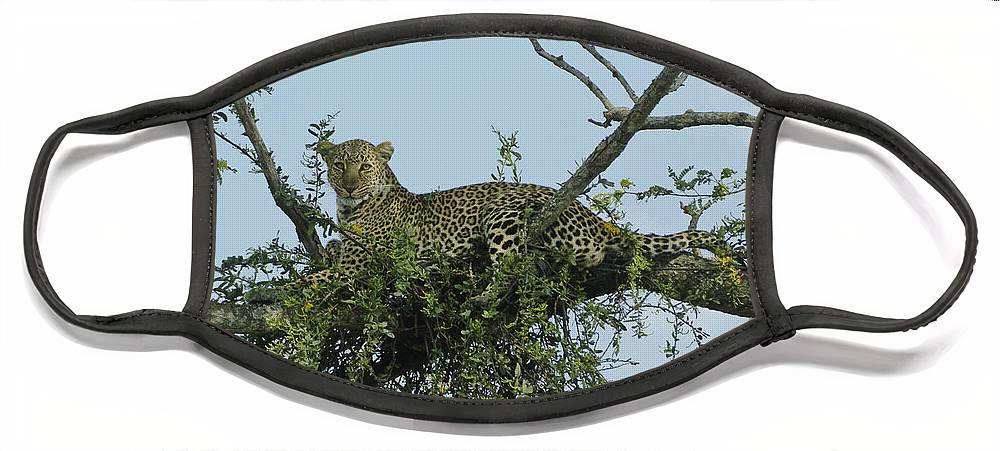 Africa Face Mask featuring the photograph Lounging Leopard by Michele Burgess