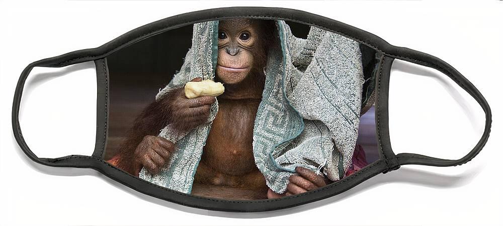 00486841 Face Mask featuring the photograph Orangutan 2yr Old Infant Holding Banana by Suzi Eszterhas